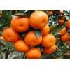 长期大量收购砂糖橘、皇帝柑、东方红、金桔