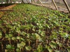 新品种葡萄苗、夏黑、新华1号、维多利亚、巨峰
