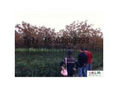 低价处理米径2公分精品丹桂