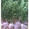 大叶黄杨小苗主要产地 大叶黄杨小苗价格