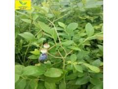 二年三年生蓝莓苗/1公分奥尼尔蓝莓