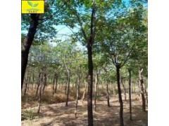 3公分香花槐树 地径4-15公分规格 绿化名贵树种