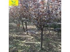 山东紫叶李 绿化工程用树
