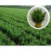 青州规格齐全的小龙柏种植基地