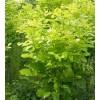 金叶白蜡种植基地供应