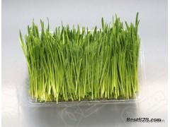 菜立方芽苗菜实力项目,无土栽培带来健康有营养有机蔬