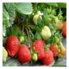 丰产抗病南北种植脱毒妙香7号草莓苗盆栽地栽挂果多