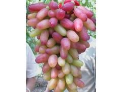 优质花椒苗、山西竹叶花椒花椒苗现货