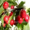 大樱桃树苗,实生大樱桃树苗,嫁接优质大樱桃树苗