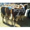 改良牛 架子牛 育肥牛 西门塔尔牛 夏洛莱牛 利木赞牛 肉牛 利木赞牛价格 肉牛犊