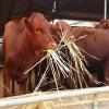 利木赞牛肉牛 金良 利木赞牛 纯种利木赞牛犊 纯种利木赞牛 肉牛 肉牛价格 牛犊价格 肉牛养殖 肉牛犊 具体价格面议