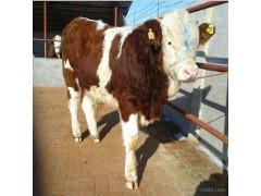利木赞牛 供应三百斤利木赞牛 肉牛犊子价格 小黄牛