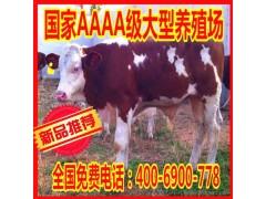 直销 改良利木赞牛 良种利木赞牛 牧业利木赞牛质优价廉