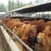 供应利木赞牛 利木赞牛销售 利木赞牛养殖
