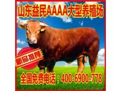 直销 利木赞牛养殖场 利木赞牛小尾寒羊 利木赞牛小母牛 质优价廉