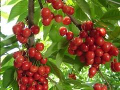 大樱桃、优良品种、成活率高、大樱桃批发