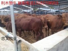 牛 利木赞牛 利木赞牛批发  利木赞牛养殖 优质肉牛