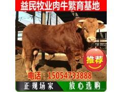 益民纯种利木赞牛 肉牛价格 利木赞牛价格 利木赞牛厂家 专业肉牛养殖厂家