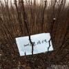 陇南农民种植花椒苗结果成串