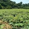 农民种植板栗苗眉山市种植密度