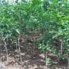 丰县农民种植石榴苗石榴苗营业钵