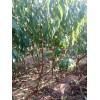盆栽庭院农民种植无花果果肉绿白