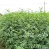 花椒树苗,农民致富 经济作物18315487451