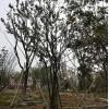 61苗木绿化工程苗木 绿化苗木基地直销 绿化专用树丛生朴树 4-12公分丛生朴树  精品丛生朴树