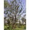 绿化工程苗木 丛生朴树 61苗木是丛生朴树大型种植基地 苗圃现货出售供应 价格低规格全 成活率高 欢迎前来采购批发