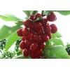 新鲜水果先锋大樱桃车厘子香甜多汁礼品水果