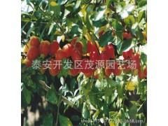 优质车厘子樱桃树苗 黑珍珠樱桃树苗