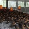 袁用家庭农场 农家小鸡