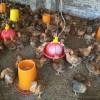 袁用家庭农场 本地小鸡