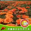 松叶牡丹   花卉种子  盆栽花卉 创意园艺