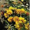 优质草本花卉种子 勋章菊种子 观赏植物 园艺花卉