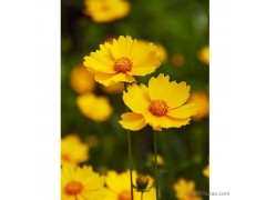 新大洲xdz 金鸡菊多年生宿根花卉宿根花卉花卉花卉种子大花金鸡菊