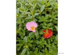 新大洲xdz 太阳花价格优惠花卉花卉种子厂家直销花卉种子绿化苗木