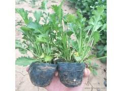 新大洲xdz大滨菊花卉种子花卉绿化苗木价格优惠