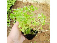 新大洲xdz 绿叶炸浆草 多年生宿根花卉宿根花卉花卉花卉种子山东厂家