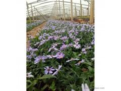 新大洲xdz 紫菀多年生宿根花卉宿根花卉花卉花卉种子