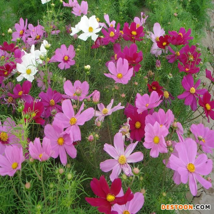蓝翔园艺 COS02 供应一年生花卉种子  波斯菊 种子 花卉种子、种苗 优质花卉种子批发 花卉种子、种苗、波斯菊 种子