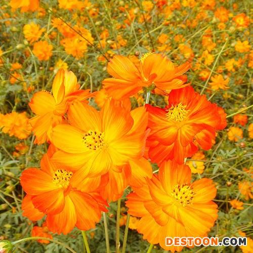 蓝翔园艺 CSU07 供应 厂家批发  硫华菊 橘红 橘黄、混合色花卉种子种苗 花卉种子 批发 庭院绿植  景观绿化种子