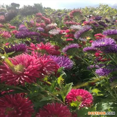 厂家直销花卉种子  单瓣混色翠菊  各类翠菊种子  园林绿化 量大从优