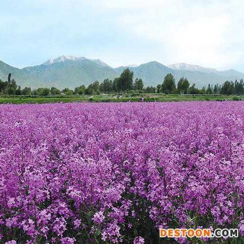 花卉种子 蓝香芥种子 种子批发限时促销  预售价格花卉种子   厂家直销  蓝香芥   优质 花卉种子  园林绿化工程