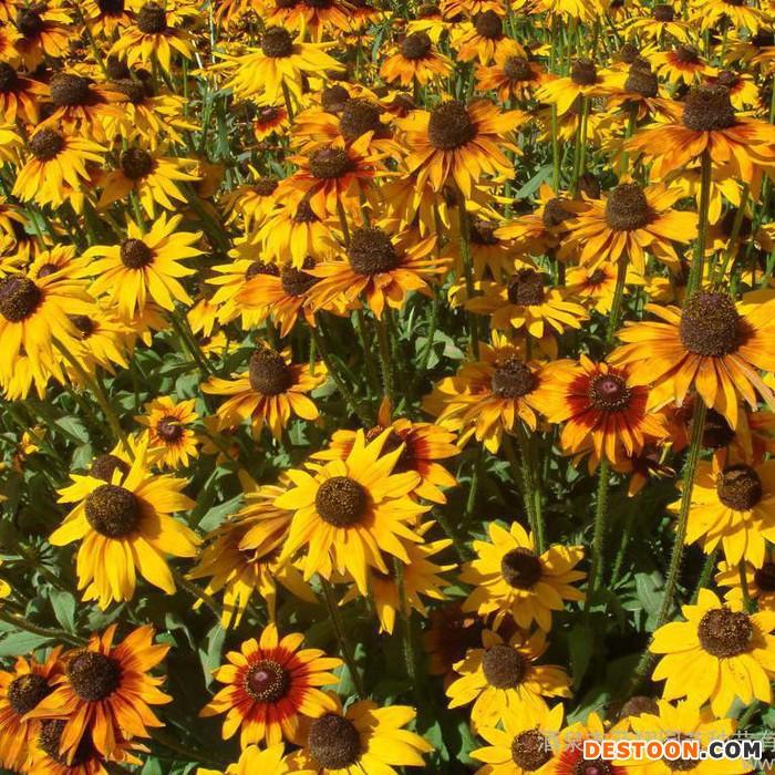蓝翔园艺  RUD04  花卉种子、种苗、矮杆黑心菊、种子 供应厂家直销花卉种子、景观绿化种子 彩色包装种子、花卉种子、
