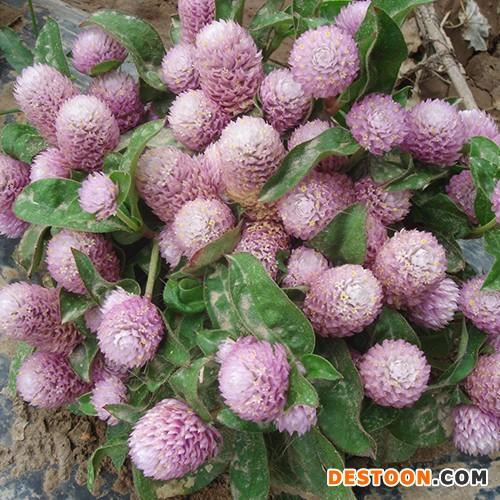 供应花卉种子千日紫花卉种子、种苗、千日红 、火球、蓝翔园艺 花卉种子批发