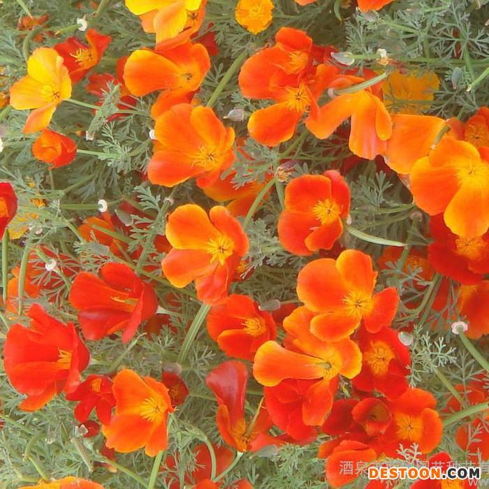 供应厂家直销花卉种子、彩色包装种子、花卉种子 花菱草 种子批发