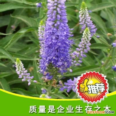 景观花卉种子 婆婆纳种子 优质婆婆那花卉种子   量大优惠