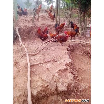 出售重庆石柱土鸡林养鸡活禽鸡 蛋