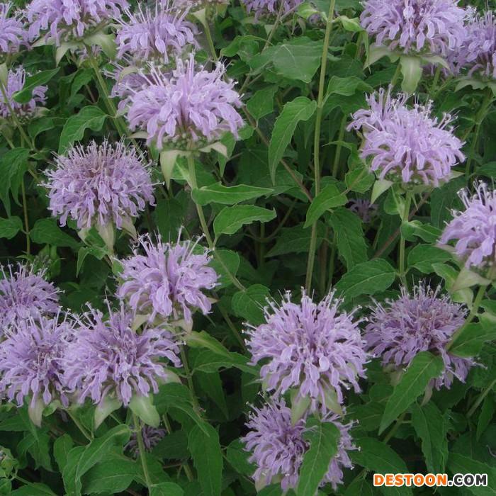 供应厂家直销花卉种子、景观绿化种子、彩色包装种子、花卉种子、种苗、美国薄荷